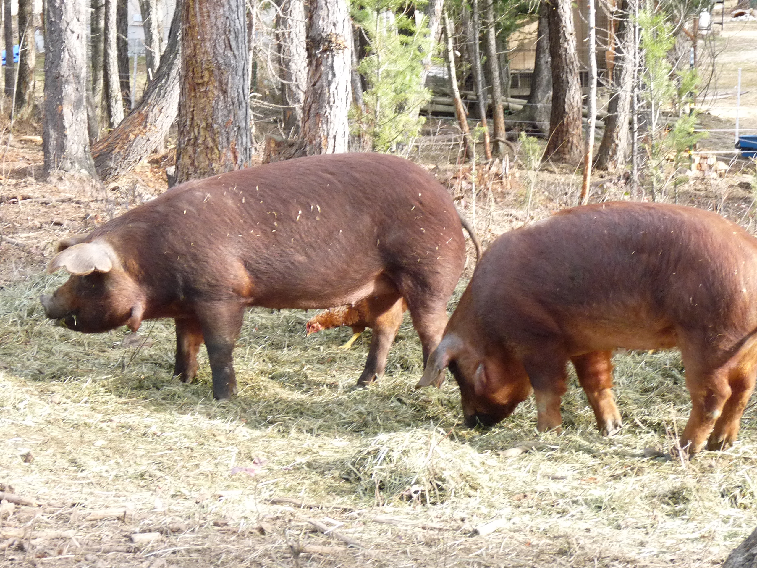 red wattle hog gilts
