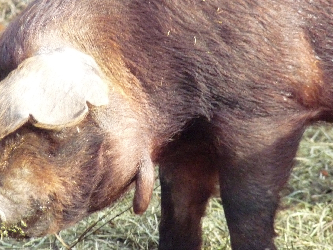 Red Wattle Hog Sow