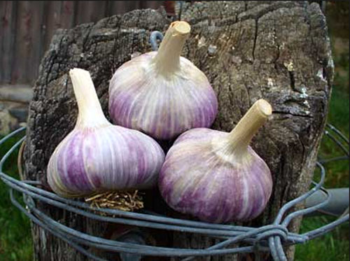 buy georgian chrystal garlic